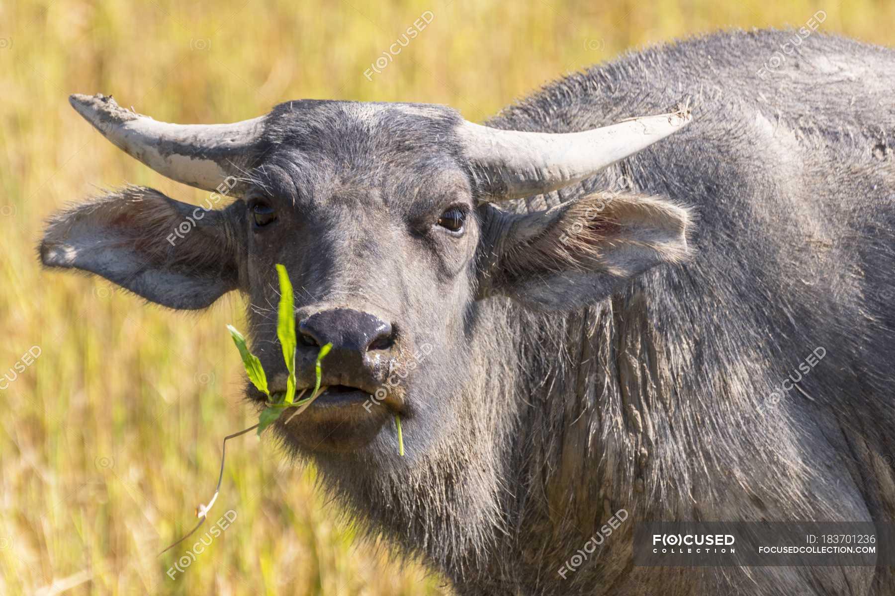 headshot diurno di bufalo di acqua asiatico mangiare