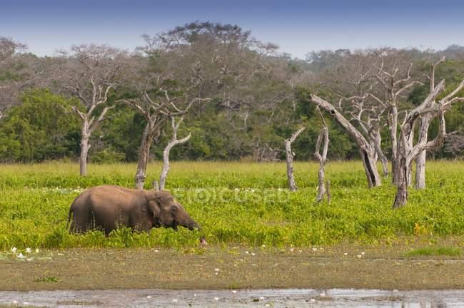 Elefante asiatico in una palude di Yala national park, Sri Lanka — Foto stock