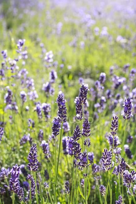 Цветущий Сиреневое поле в утреннем свете — стоковое фото