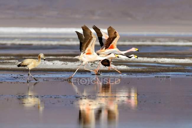 Laufenden Puna Flamingos an der Laguna Colorada, Bolivien — Stockfoto