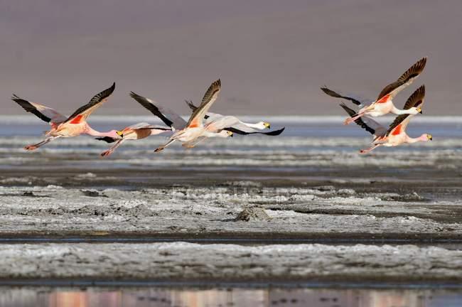Fenicotteri di James sorvolano Laguna Colorada, Bolivia — Foto stock