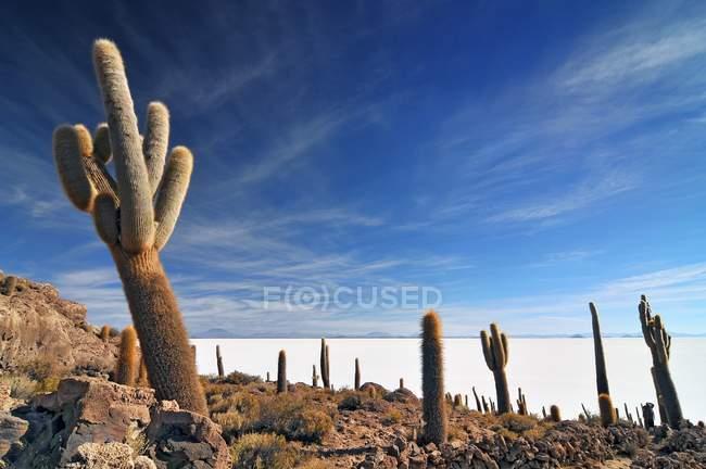 Cactus gigantes en la isla de Incahuasi en la zona del Salar De Uyuni en Bolivia - foto de stock