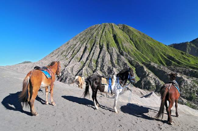 Horses for tourist rent at Mount Bromo of Tengger massif in East Java, Indonesia — Stock Photo