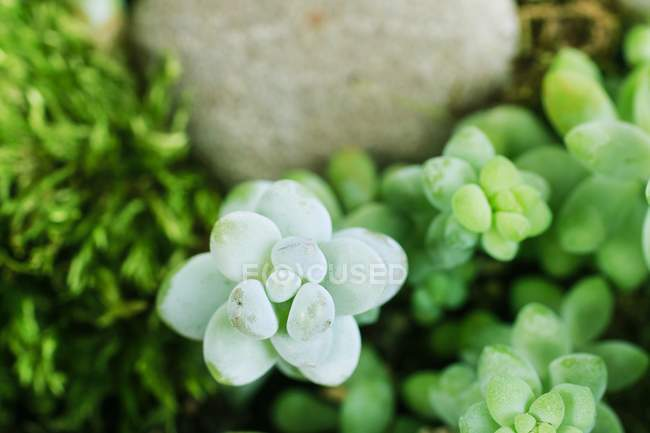 Close-up of succulent plants green leaves — Stock Photo
