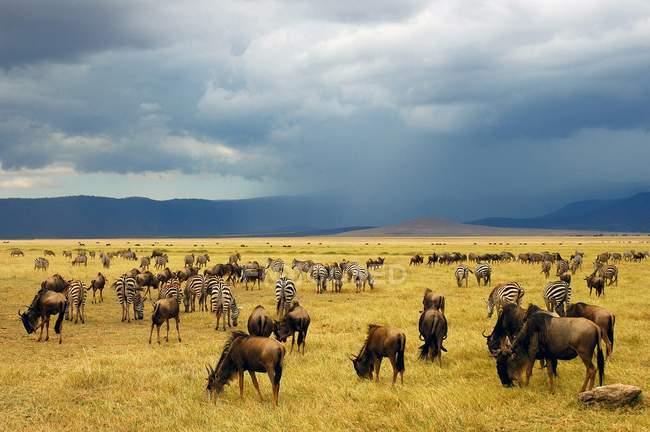 Connochaetes selvatici e zebre nel Parco nazionale di Ngorongoro, Tanzania — Foto stock