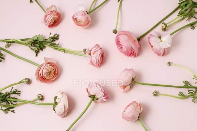 Ranunculus Blumen auf rosa Hintergrund, Stillleben — Stockfoto