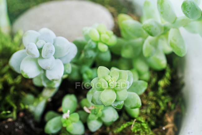 Close-up of potted succulent plants green leaves — Stock Photo