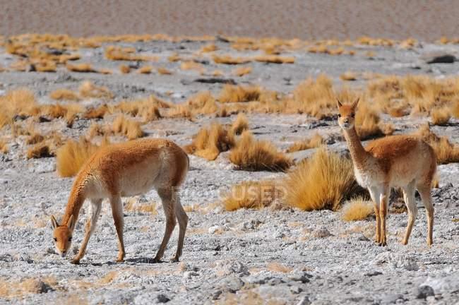 Vigogne selvatiche che pascono alla Laguna Colorada, Altiplano, Bolivia, Sud America — Foto stock