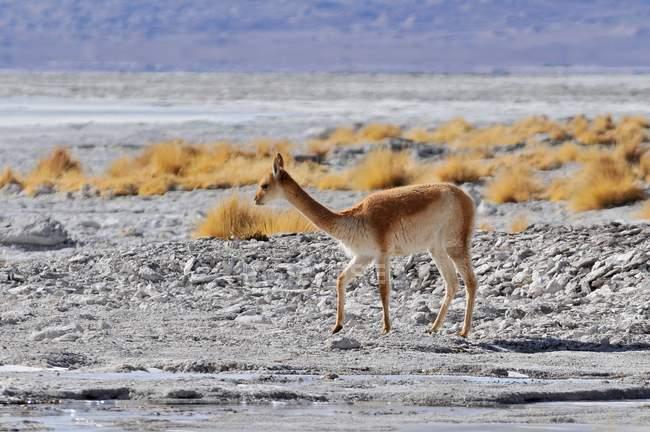 Wild vicuna grazing at Laguna Colorada, Altiplano, Bolivia, South America. — Stock Photo
