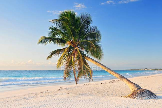 Paradise beach with beautiful palm tree, Riviera Maya in Mexico. — Stock Photo