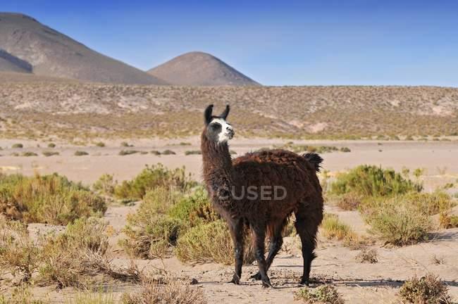 Lama al pascolo in zona arida della Laguna Colorada, Bolivia — Foto stock