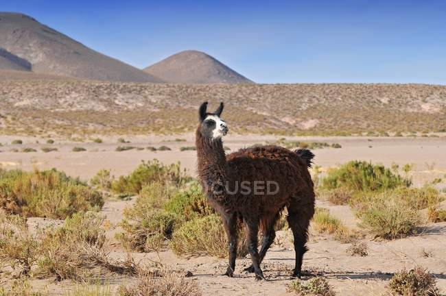 Llama grazing in barren area of Laguna Colorada, Bolivia. — Stock Photo