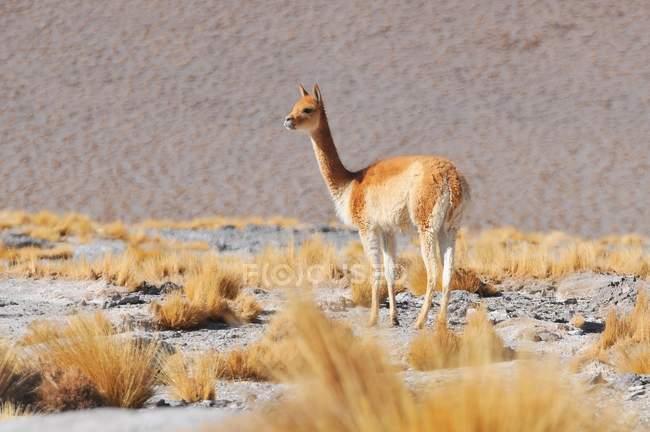 Wilde Vikunjas Weiden am Laguna Colorada, Altiplano, Bolivien, Südamerika — Stockfoto
