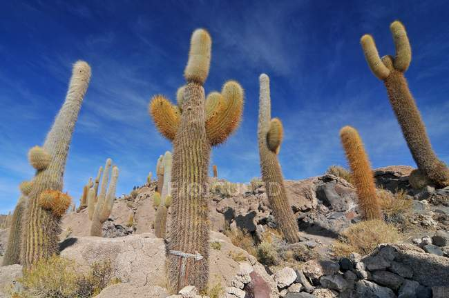 Cactus gigantes en la Isla del Pescado en la zona del Salar de Uyuni en Bolivia - foto de stock