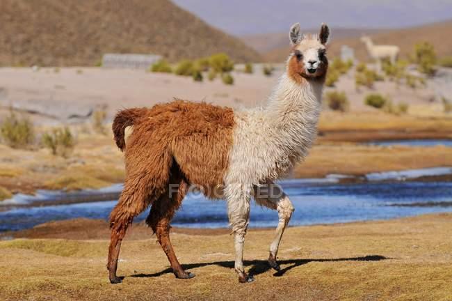 Lama Beweidung in kargen Gegend von Laguna Colorada, Bolivien — Stockfoto