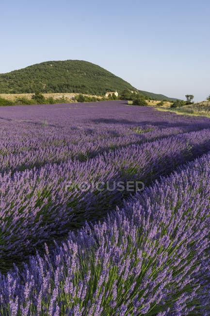 Lavender field in Vaucluse, Alpes-de-Haute Provence, France — Stock Photo