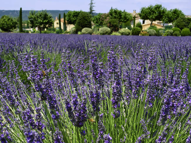 Blossoming lavender field in Provence, France — Stock Photo
