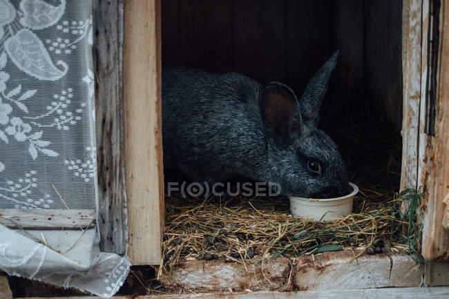 Чёрный заяц, едят в деревянной клетке — стоковое фото