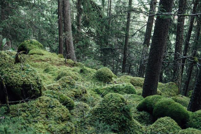 Moosigen Hügel im Wald mit Tannen — Stockfoto