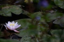 Close-up of lotus flower in pond — Stock Photo
