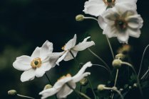 Gros plan sur les fleurs blanches d'anémone — Photo de stock