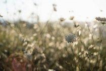 Flores de zanahoria silvestre en el prado del condado a la luz del sol suave, primer plano - foto de stock