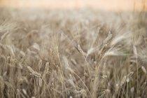 Steli di grano maturo in campo in estate — Foto stock