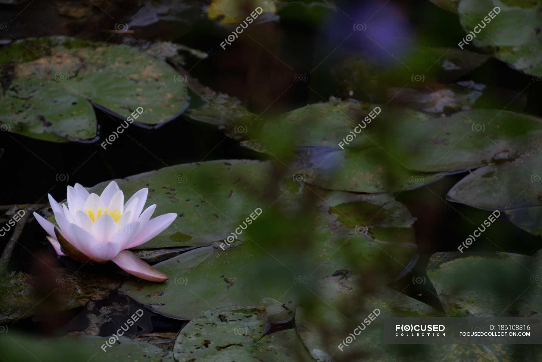 Close up of lotus flower in pond stock photo 186108316 izmirmasajfo