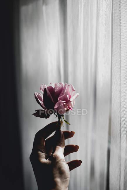 Mão feminina segurando rosa rosa — Fotografia de Stock