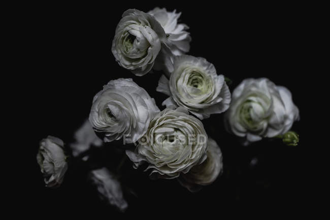 Bouquet of white roses on dark background — Stock Photo