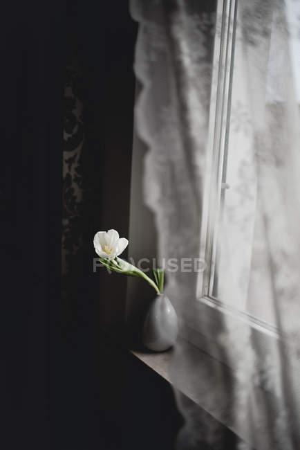 White tulip in vase on window sill — Stock Photo