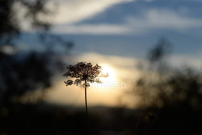 Malerische Aussicht Apiaceae Pflanze auf Sonnenuntergang Himmelshintergrund — Stockfoto