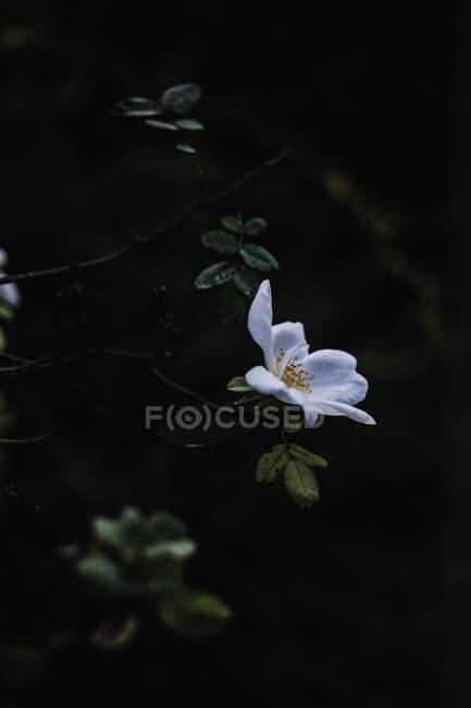 Flor branca no ramo de árvore, close-up — Fotografia de Stock