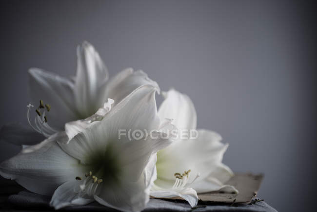 Gros plan sur les fleurs de lys blanc — Photo de stock