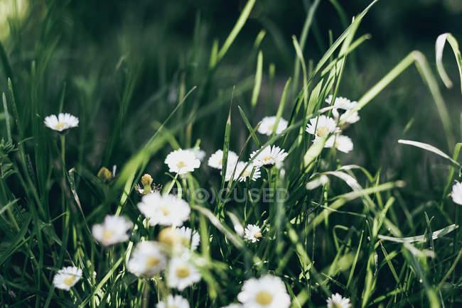 Flores de camomila na grama verde — Fotografia de Stock