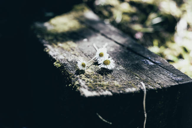 Close-up of daisy flowers on rustic garden table — Stock Photo