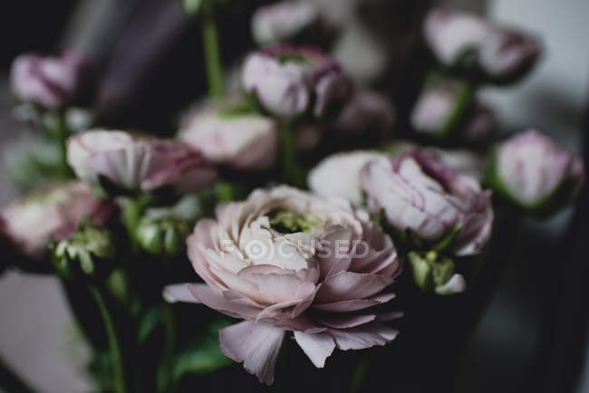 Close-up of pink ranunculus flowers — Stock Photo