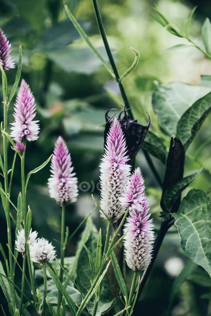 Закри вишні argentea celosia в саду — стокове фото
