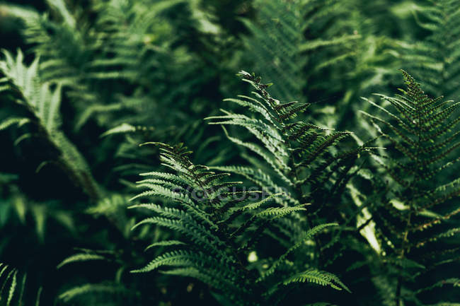 Arbustos de samambaia no jardim, full frame — Fotografia de Stock
