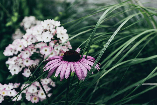 Close-up of coneflower blooming in garden — Stock Photo