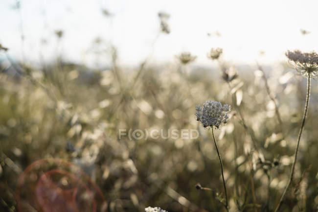 Carota selvatica fiori in Contea prato morbido alla luce del sole, primo piano — Foto stock