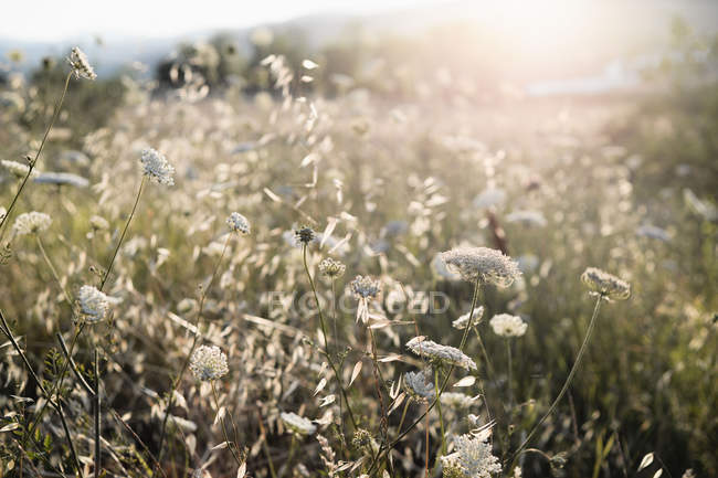 Wild carrot flowers in county meadow in soft sunlight — Stock Photo