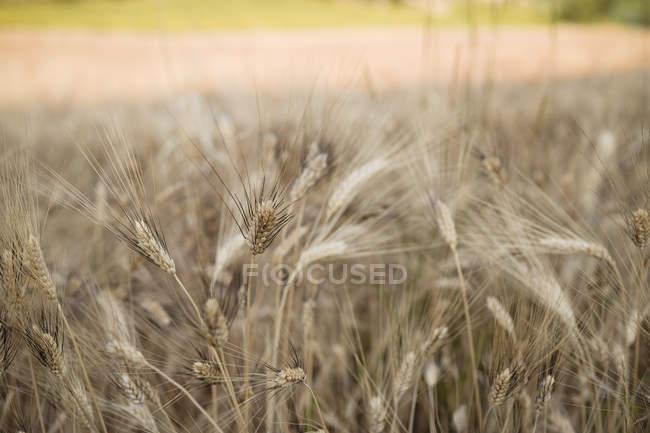 Tallos de trigo maduro en el campo en verano - foto de stock