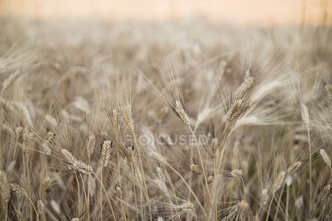 Steli di grano maturo in campo in estate — Foto stock