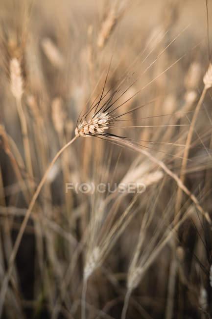 Nahaufnahme des goldenen Ähre im Feld — Stockfoto