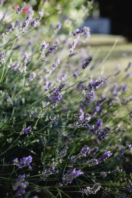 Lavender plants growing in sunny garden — Stock Photo