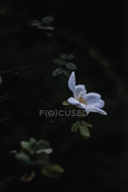 Закри Біле дерево квітка на гілці в саду — стокове фото