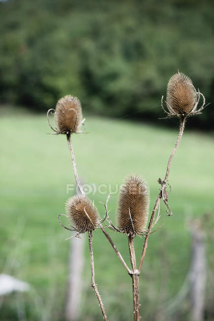 Close-up of Dipsacus plant in green meadow — Stock Photo