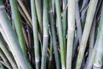 Grüner Bambus Stämme im Tropenwald — Stockfoto
