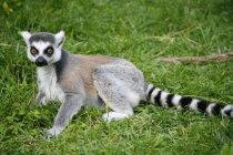 Lemur auf dem grünen Rasen, Blick in die Kamera — Stockfoto